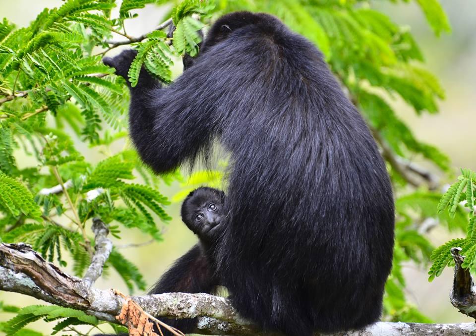 Monkeys at Petén, Guatemala