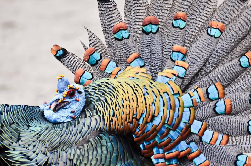 Ocellated turkey at El Mirador, Petén, Guatemala