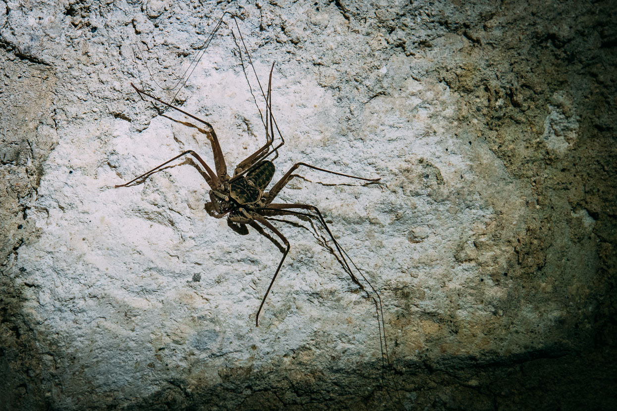 Scorpion Spider at Petén, Guatemala