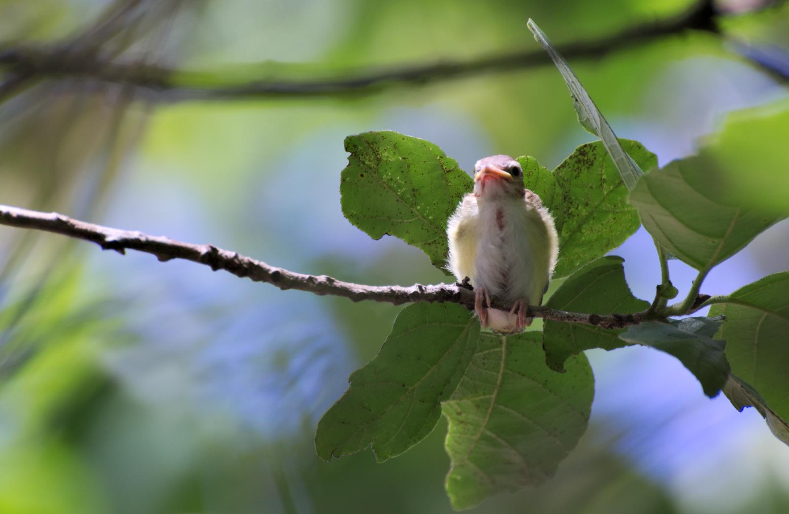 Polluelo en rama