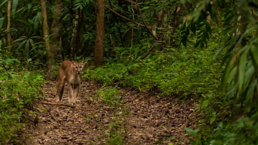 Mountain Lion, Panthera Concolor