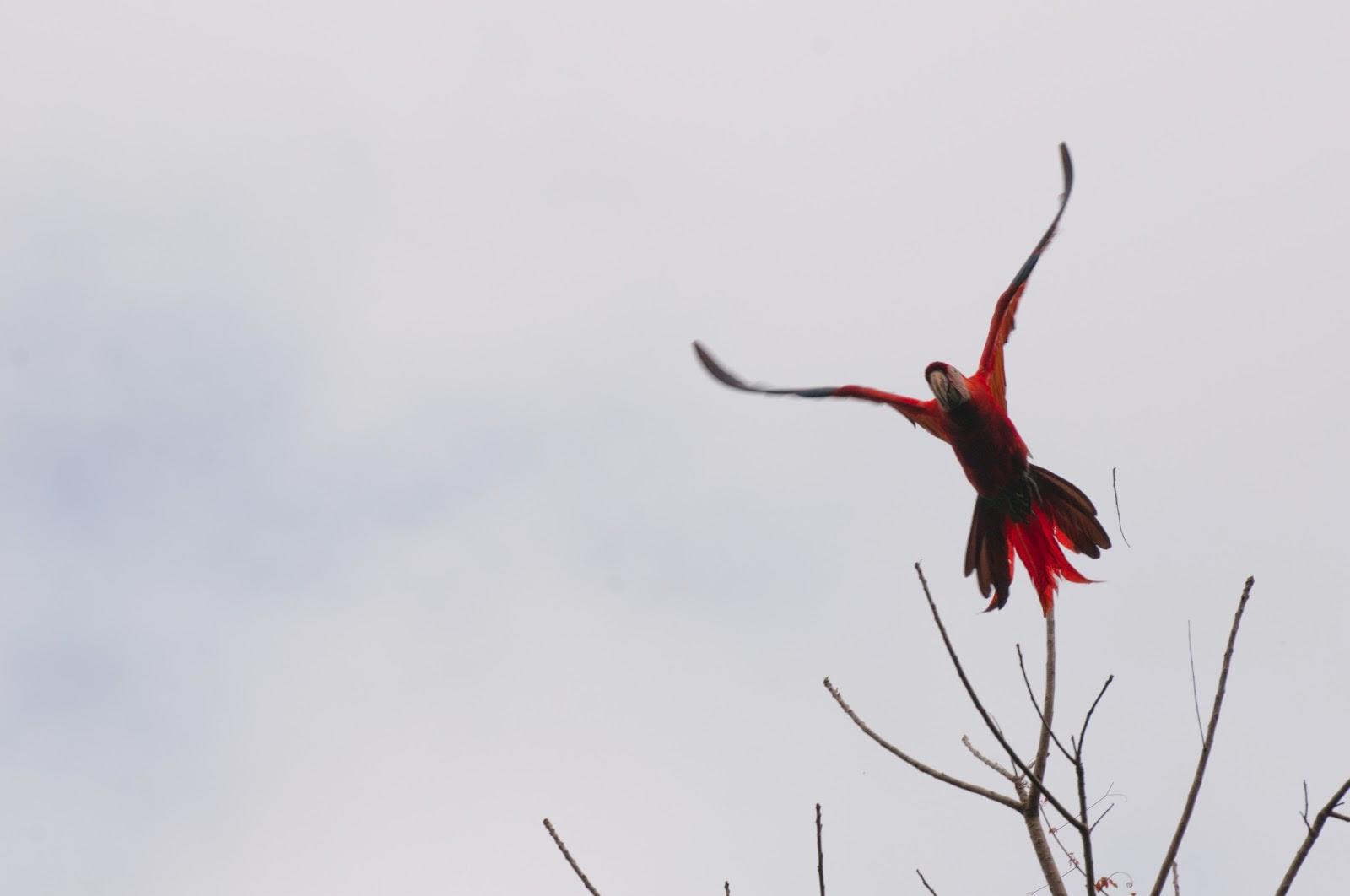 Guacamaya Roja, Ara Macao Cyanoptera, or scarlet macaw
