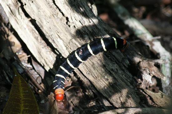 Caterpillar at Petén, Guatemala