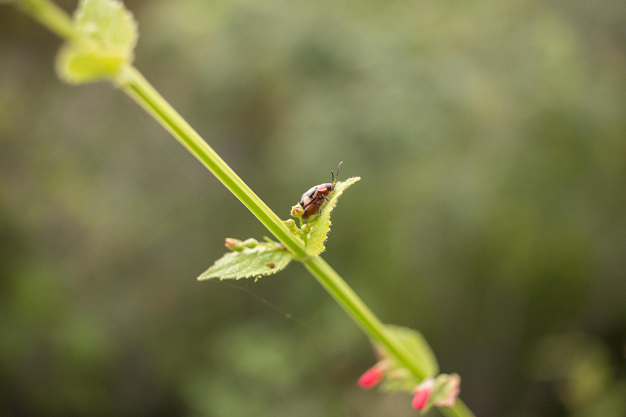 Ladybug at El Mirador, Petén.