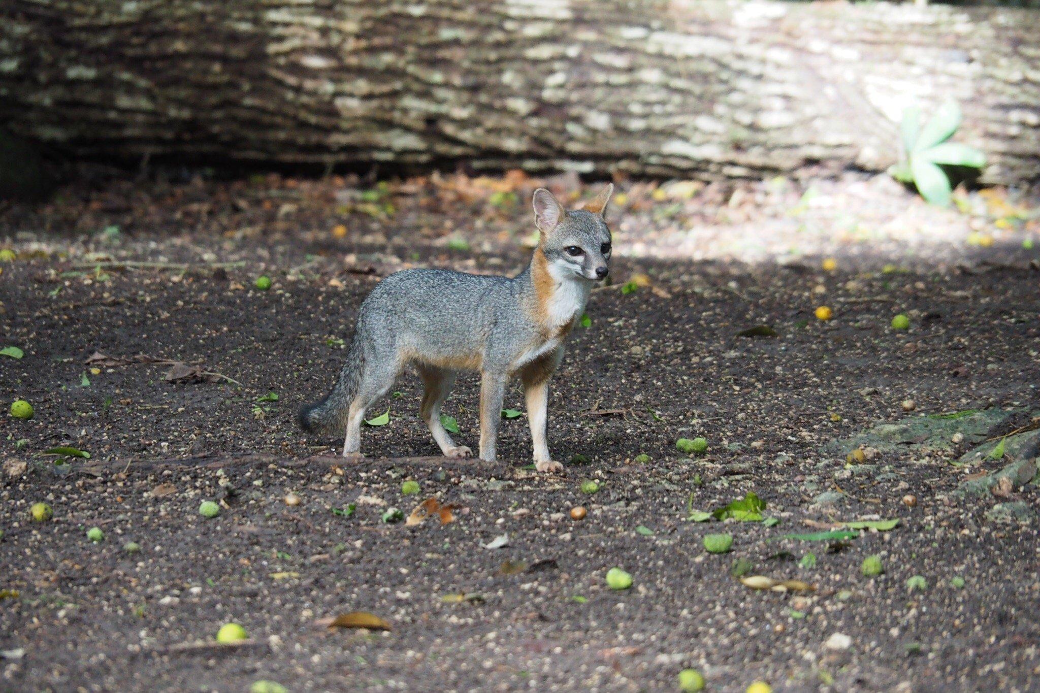 Gray Fox at Petén