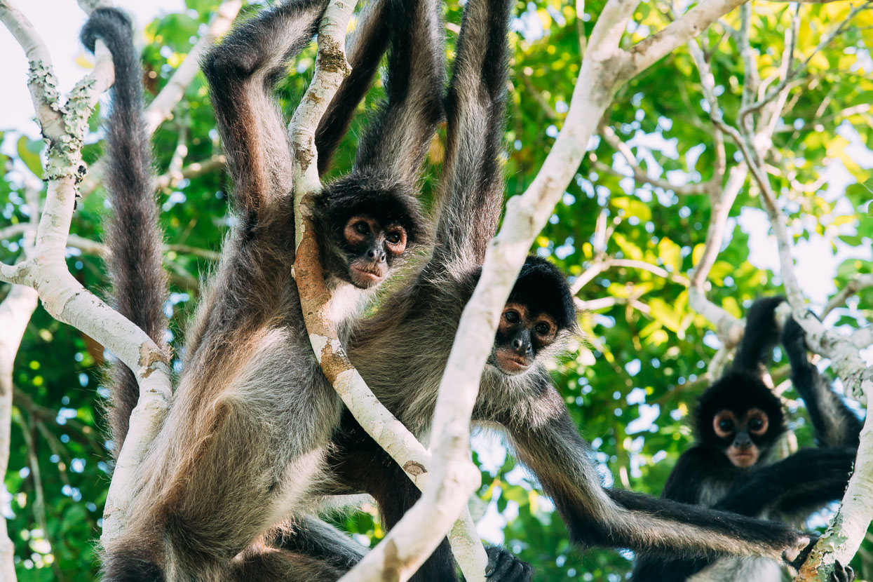 Monkeys at El Mirador