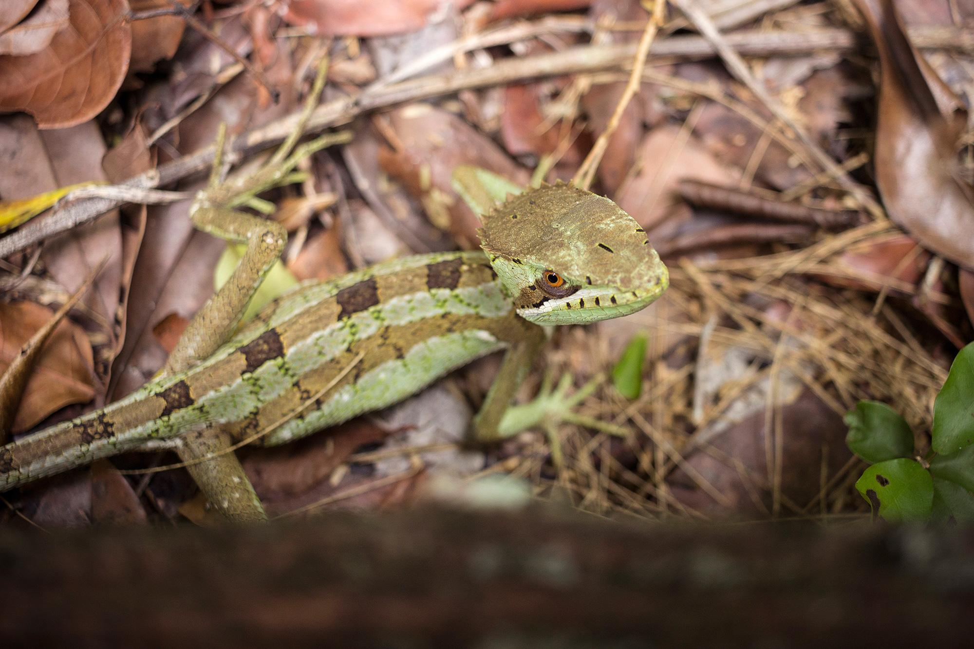 Gecko en ruta Carmelita-Mirador