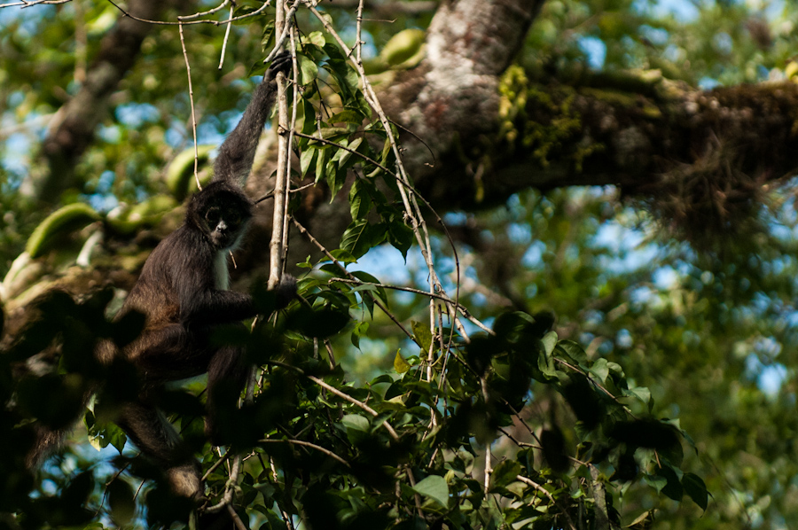 Spider Monkey, a common primate in the forests of northern Guatemala.
