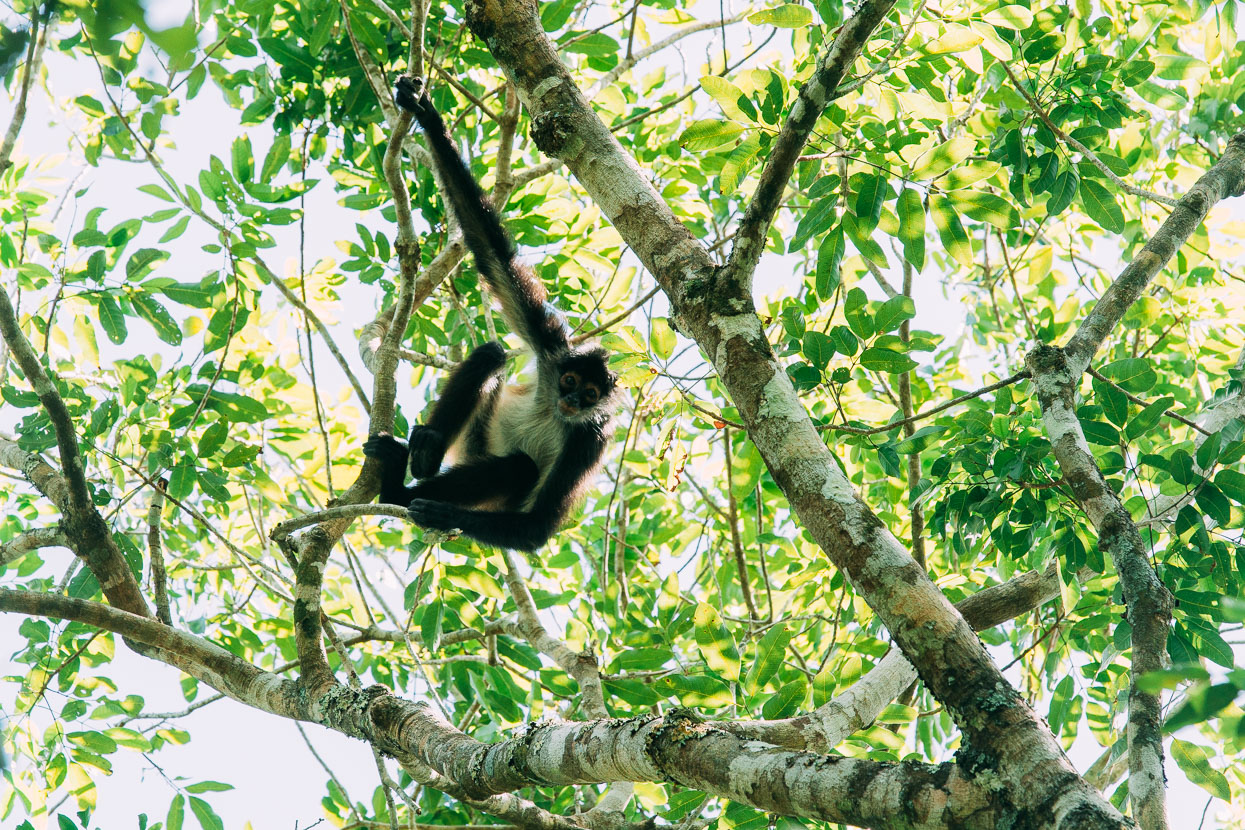 Monkey at Petén
