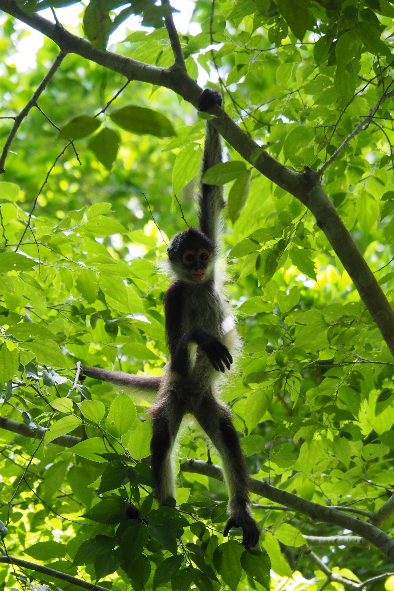 Monkey at Petén, Guatemala