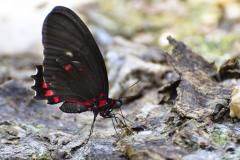 Mariposa a orillas del Lago Petén Itzá