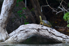 Tortuga a orillas del Río San Pedro